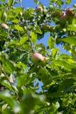 Vista ascendente cercana de la rama de árbol con la manzana orgánica en la rama, frutas en huerta fotografía de archivo