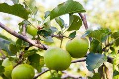 Vista ascendente cercana de la rama de árbol con la manzana orgánica en la rama, frutas en huerta imagen de archivo