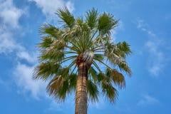 Vista ascendente de una palmera hermosa con S soleado azul nublado foto de archivo