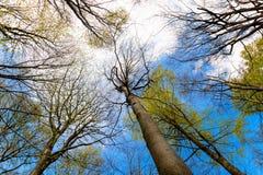 Vista ascendente degli alberi in una foresta ed in un cielo blu Immagini Stock