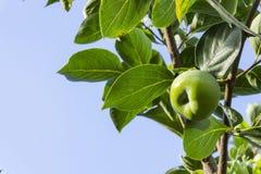Vista ascendente, manojo de frutas redondas del caqui crudo verde y hojas verdes debajo del cielo azul, kown como fruta del Diosp imagen de archivo libre de regalías