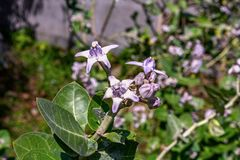 Vista ascendente próxima da flor do gigantea de Calotropis igualmente conhecida como a flor da coroa fotografia de stock royalty free