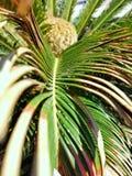 Vista ascendente próxima da planta da palma de sagu com semente imagens de stock