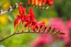 Vista ascendente próxima de flores escarlate-vermelhas brilhantes de Crocosmia 'Lucifer 'Montbretia, no Iridaceae da família de í fotos de stock royalty free