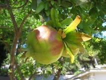Vista ascendente próxima de frutos saudáveis bonitos da romã em um ramo de árvore no pomar da romã foto de stock royalty free