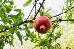 Vista ascendente próxima de frutos saudáveis bonitos maduros da romã em um ramo de árvore no pomar da romã pronto para a colheita fotos de stock royalty free