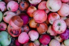Vista ascendente próxima de maçãs podres na terra, o conceito de uma colheita estragada fotografia de stock