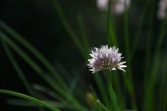 Vista ascendente próxima de uma única flor do cebolinho foto de stock royalty free