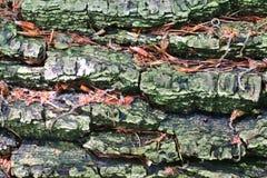Vista ascendente próxima em casca de árvore belamente detalhada dos carvalhos e das outras árvores fotos de stock royalty free