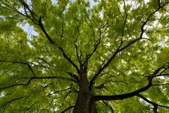 Vista ascendente sulla corona di verde dell'albero dell'acacia Fotografie Stock Libere da Diritti