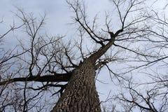 Vista astratta che esamina verso l'alto un albero sfrondato fotografia stock libera da diritti