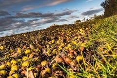 Vista astratta dei frutti caduti della mela di granchio veduti al bordo di grande campo, visto  in autunno immagine stock