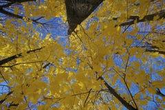 Vista até as árvores do outono Foto de Stock Royalty Free