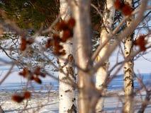 Vista através dos troncos de árvore Fotografia de Stock