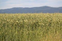 Vista attraverso il paesaggio agricolo del campo di mais Immagine Stock