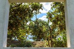 Vista attraverso la finestra degli alberi di loquat Immagini Stock