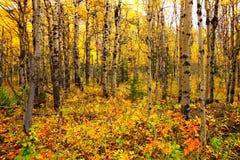 Vista attraverso una foresta della tremula con le foglie di autunno vibranti Immagini Stock