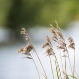 Vista bassa di profondità di campo delle canne sopra il lago nella stagione estiva Immagine Stock