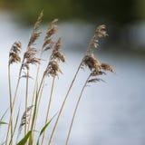 Vista bassa di profondità di campo delle canne sopra il lago nella stagione estiva Fotografia Stock Libera da Diritti