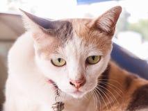 Vista bianca del gatto Immagine Stock Libera da Diritti