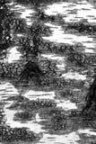 Vista blanco y negro de la corteza de abedul Foto de archivo libre de regalías