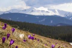 Vista bonita dos primeiros açafrões violetas e brancos brilhantes de surpresa de florescência maravilhosos que crescem no monte í Imagens de Stock Royalty Free