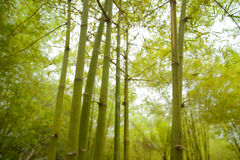 Vista bonita na floresta de bambu foto de stock royalty free