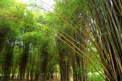 Vista bonita na floresta de bambu Fotos de Stock Royalty Free