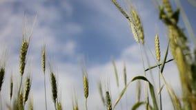 Vista borrosa del horizonte y del cielo con las nubes a través de los oídos verdes del trigo en el campo almacen de video