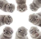 Vista britânica dos gatinhos Fotografia de Stock