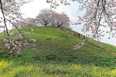 Vista cênico de árvores bonitas da flor de cerejeira em uma cume de prados gramíneos verdes sob o céu ensolarado azul em Saitama, Imagens de Stock Royalty Free