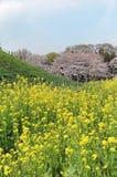 Vista cênico de árvores bonitas da flor de cerejeira em uma cume de prados gramíneos verdes sob o céu ensolarado azul em Saitama, Imagens de Stock