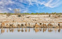 Vista cênico de Okaukeujo Waterhole no parque nacional de Etosha, com um grande ela de maior beber de Kudu Fotografia de Stock Royalty Free