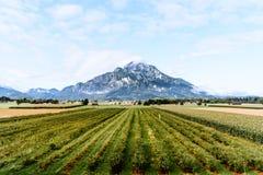 Vista cênico do vinhedo contra a montanha Fotografia de Stock