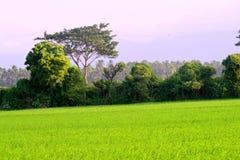 Vista calma de árvores bonitas de um campo verde do arroz na Índia fotos de stock royalty free