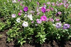 Vista cercana de flores multicoloras de la petunia imágenes de archivo libres de regalías