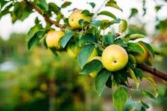 Vista cercana de la rama del manzano, Hung With Yellow Pink Apples Imagenes de archivo