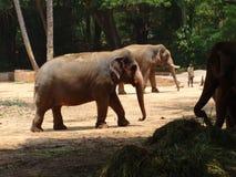 Vista cercana de no. del elefante en el parque zoológico fotografía de archivo libre de regalías
