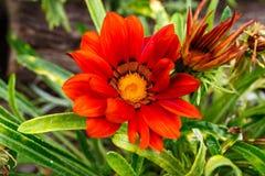 Vista cercana de una flor anaranjada y amarilla hermosa de la margarita Imagen de archivo
