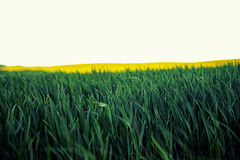 Vista colorida de plantas de florescência da colza e rural bonitos Fotos de Stock