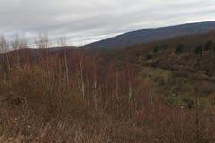 Vista colorida em um bosque da árvore de vidoeiro em um dia de invernos suave, área de Manubach, Alemanha Foto de Stock