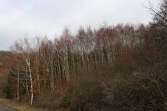 Vista colorida em um bosque da árvore de vidoeiro em um dia de invernos suave, área de Manubach, Alemanha Fotografia de Stock