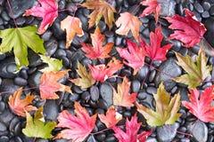 Vista concettuale di caduta delle foglie di acero cadute Fotografie Stock