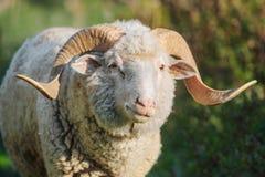 Vista cornuta bianca del primo piano delle pecore Immagini Stock Libere da Diritti