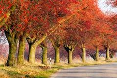 Vista d'autunno del vicolo del chokeberry Fotografia Stock