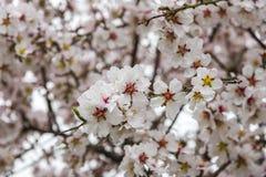 Vista da árvore de amêndoa que floresce com flores bonitas em fevereiro na região do Algarve, Fotografia de Stock Royalty Free