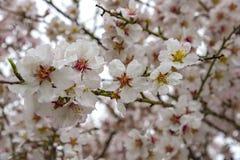 Vista da árvore de amêndoa que floresce com flores bonitas em fevereiro na região do Algarve, Imagem de Stock