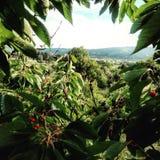 Vista da árvore de cereja Fotografia de Stock
