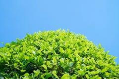 Vista da árvore e do céu azul Foto de Stock