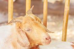 Vista da cabra do retrato Fotos de Stock